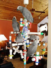"""Kitchen Sink"" Hanging PlayGym with 5 African Greys"