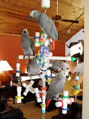 Kitchen Sink Parrot PlayGym with five African Grey Parrots