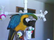 Kitchen Sink Parrot PlayGym shown with a Blue and Gold Macaw