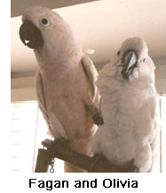Moluccan and Umbrella Cockatoos
