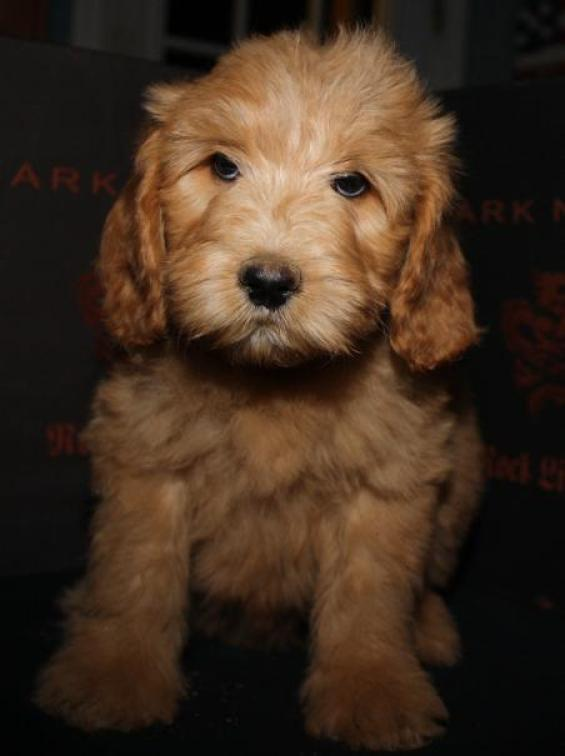 Puppies Of Cherri Kinkly A Beau Monde Labradoodle These