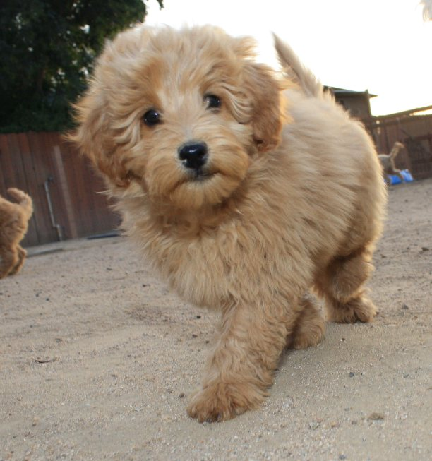 Past Beau Monde Labradoodles Cinnamon Puppies California S
