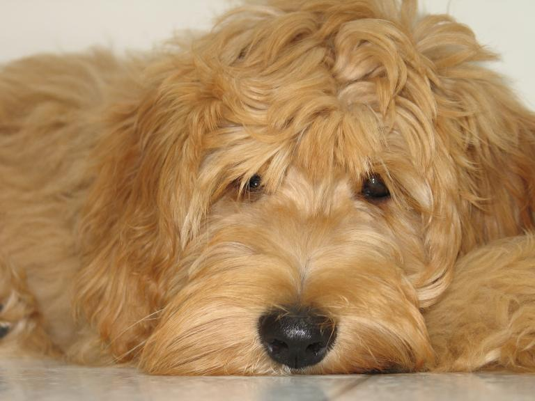 "Goldendoodle ""smiling"" DOG AND PUPPIES Pinterest"